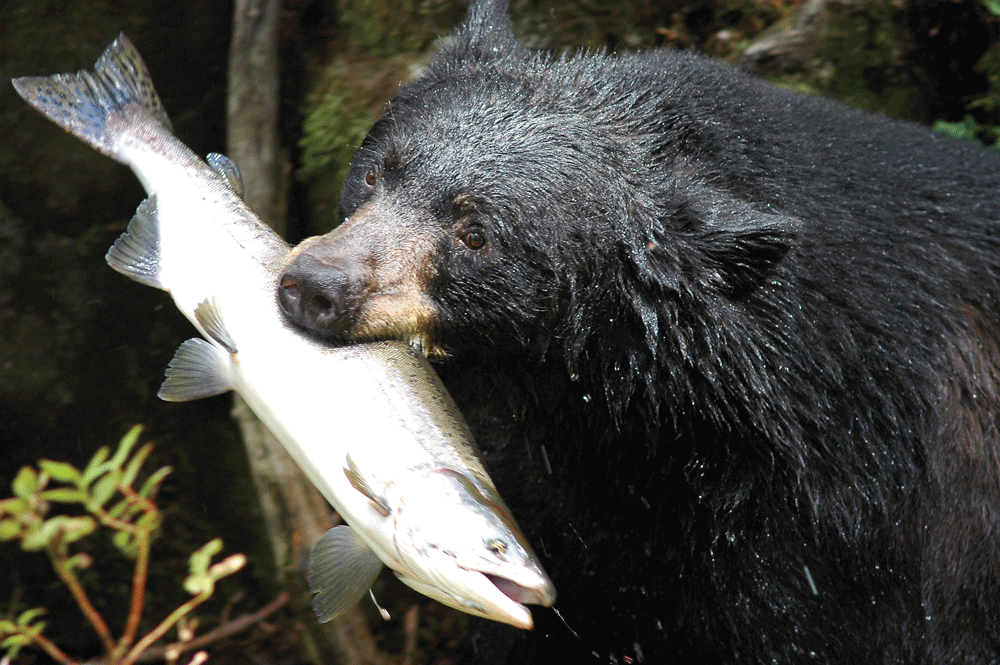 A wild black bear with a salmon in its mouth
