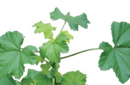 Edible Malva Parviflora