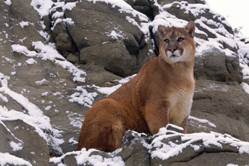 A wild mountain lion in the snowy mountains