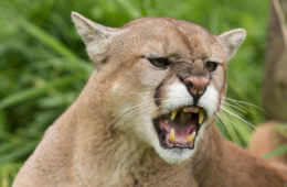 Preventing (And Surviving) a Mountain Lion Attack