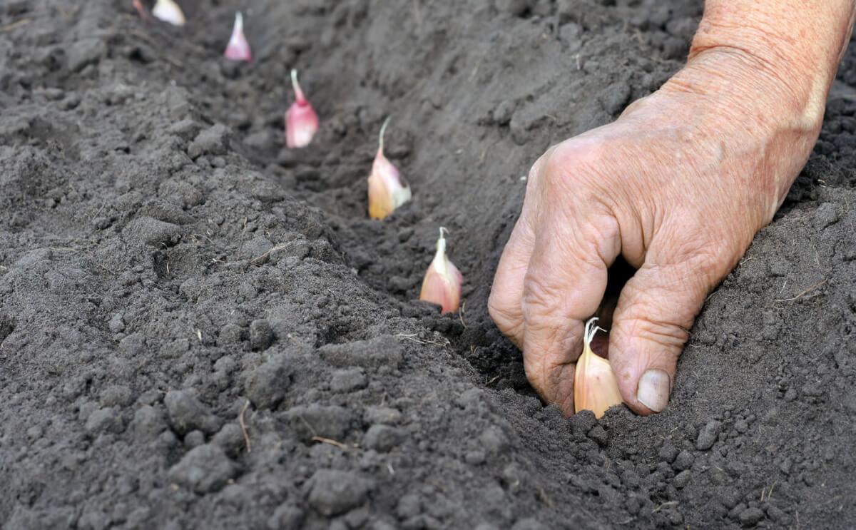 Яровой чеснок: когда сажать и как выращивать. Чеснок 53