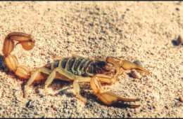Fatal Stingers: The 6 Deadliest Scorpions in the World