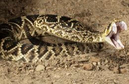 Fateful Fangs: Identifying The 9 Most Venomous Snakes