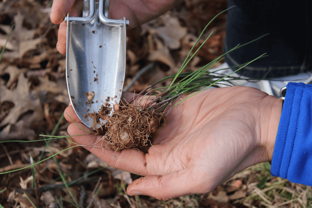 In the spring, you will uncover and collect some of the earliest plants by digging. Here, the author collects wild onion. Any plants that have a garlic or onion scent are edible.