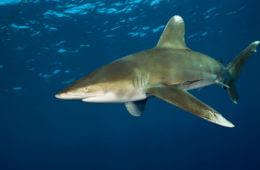 Fearsome Fins: The 5 Deadliest Sharks