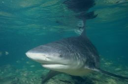 Bull Run: Rising Temperatures Bring Baby Bull Sharks to North Carolina