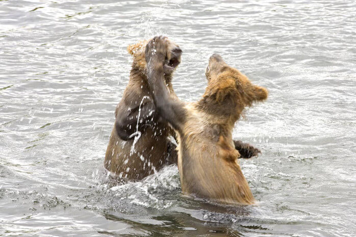 Two bear cubs playing with each other in a river