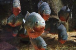 Fatal Frenzy: How to Avoid Piranha Attacks