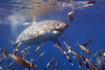 Shark Attack: How to Avoid the Great Maneaters of the Deep