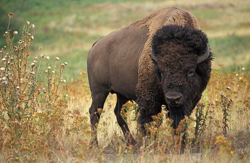 A wild bison standing in a grassy field