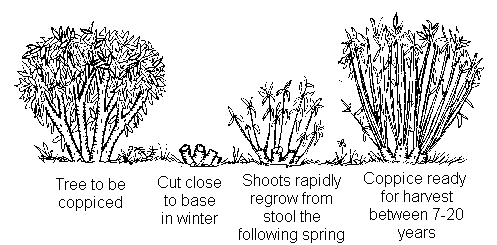 A diagram depicting the process of coppicing, one of the many uses of a machete