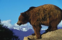 Bear in Mind: Grizzlies are Expanding Range in Northern Rockies