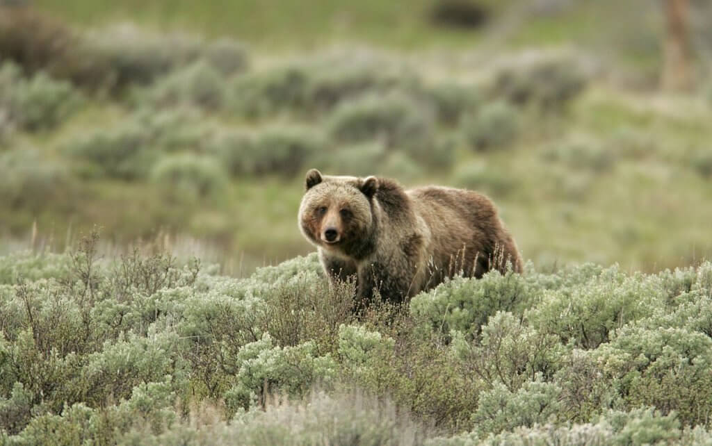 grizzly bear yellowstone park