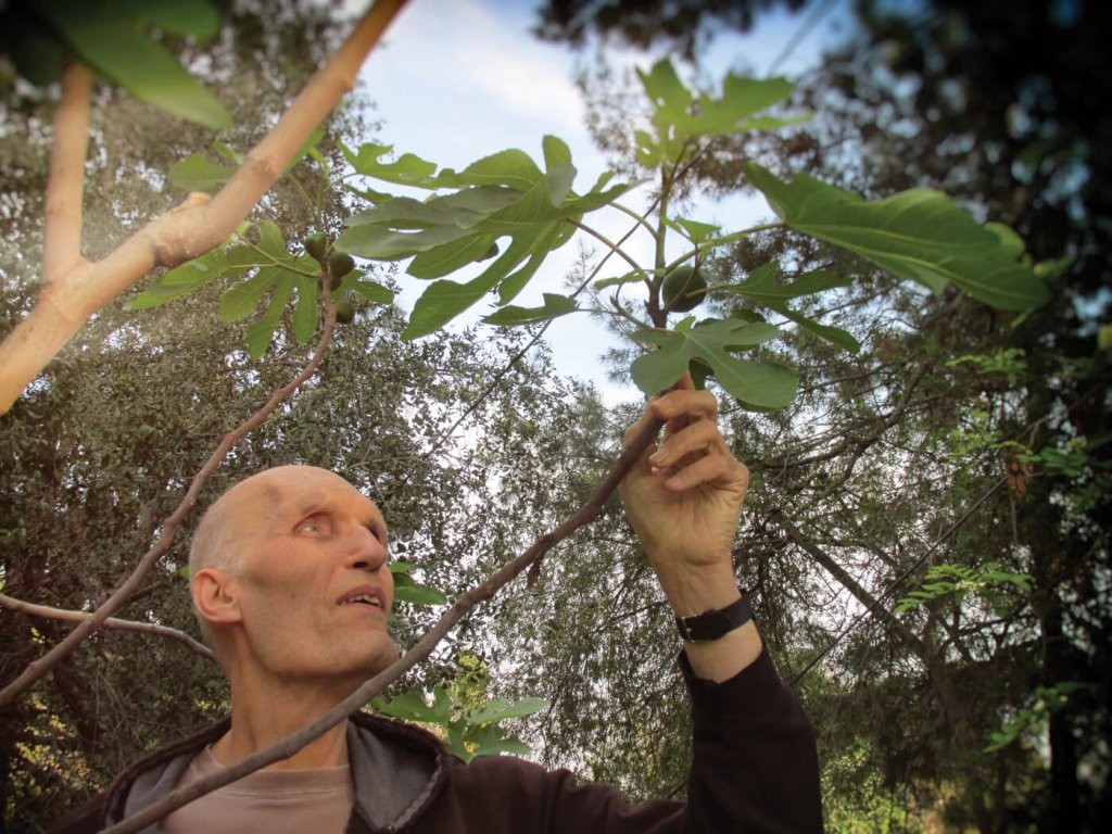 Carel Struycken reaches for a fig on a backyard tree.