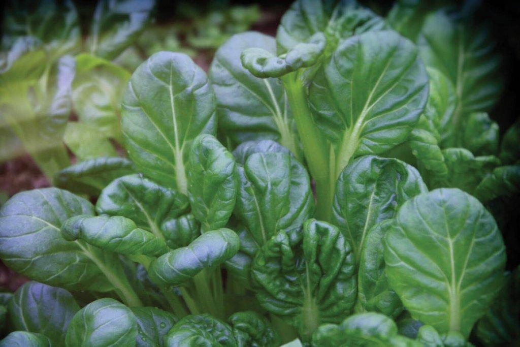 Tatsoi (Chinese Flat Cabbage)