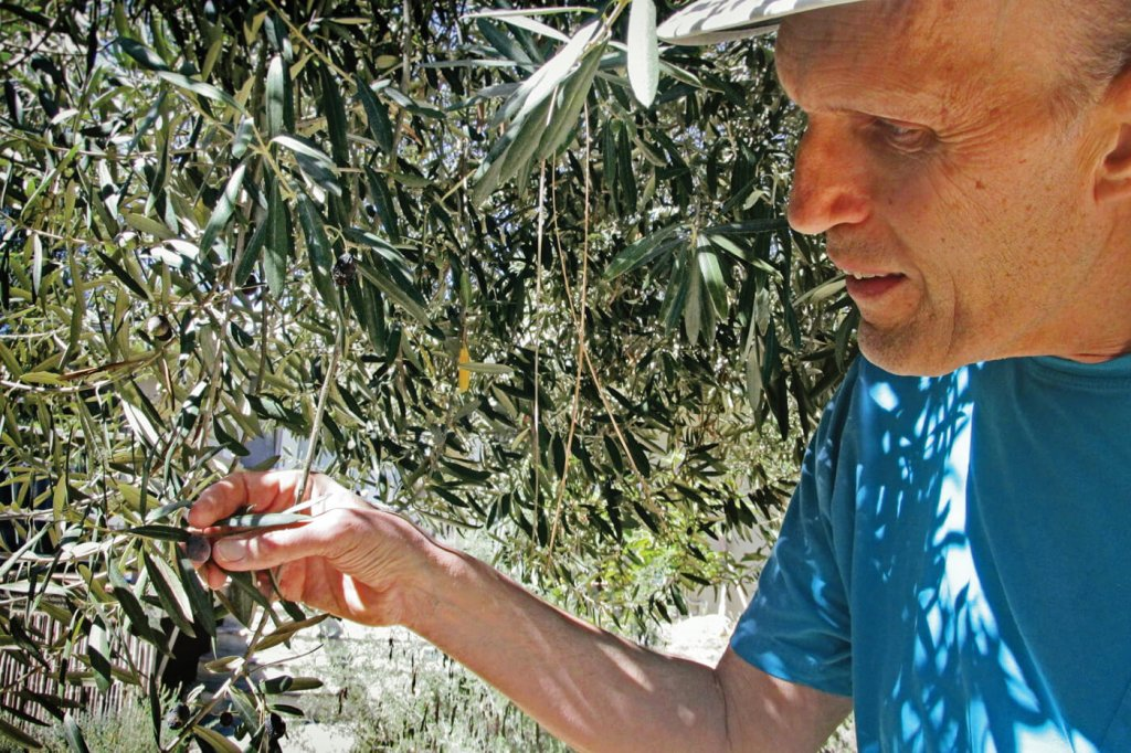 Carel Struycken examines a few of the olives on a branch of an olive tree.