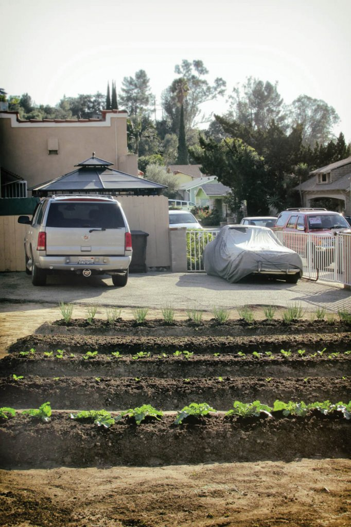 A front urban lawn converted into a small vegetable garden.