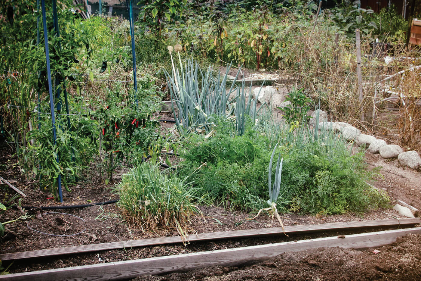 Vegetables planted in bunches with narrow paths lines with stone.