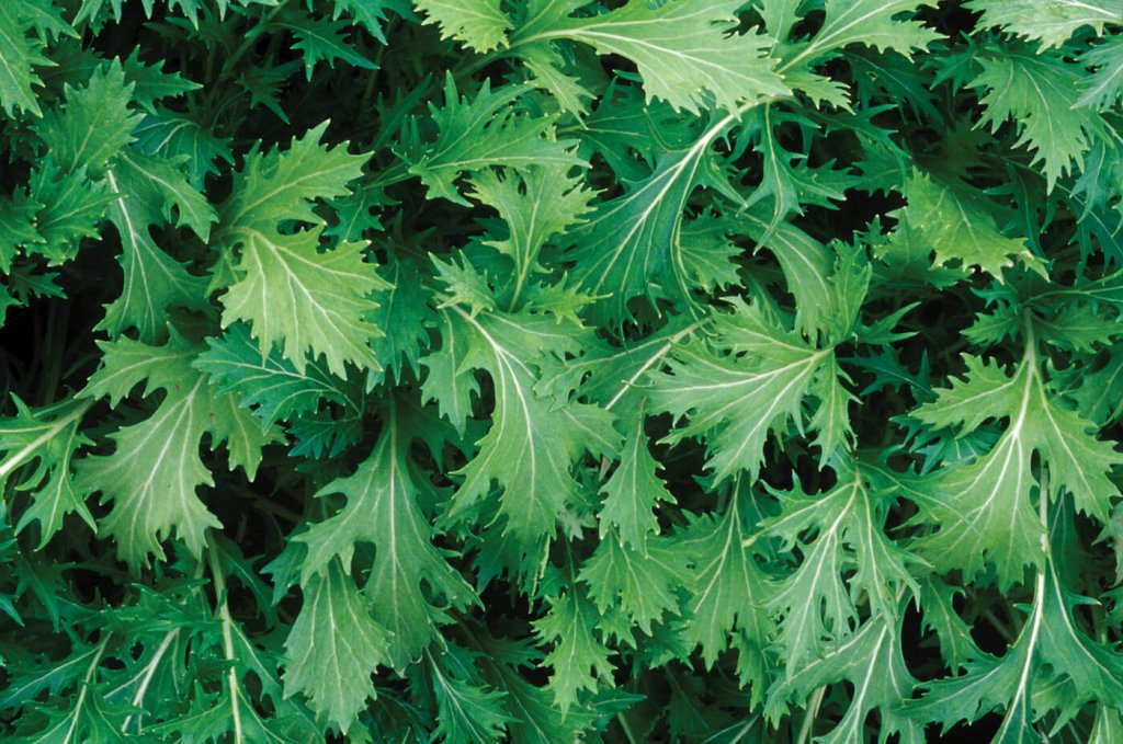 A Mizuna plant