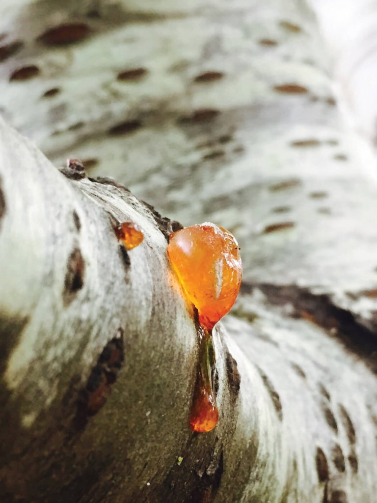 Tree sap oozing from bark that can be chewed when dried to maintain oral hygiene.