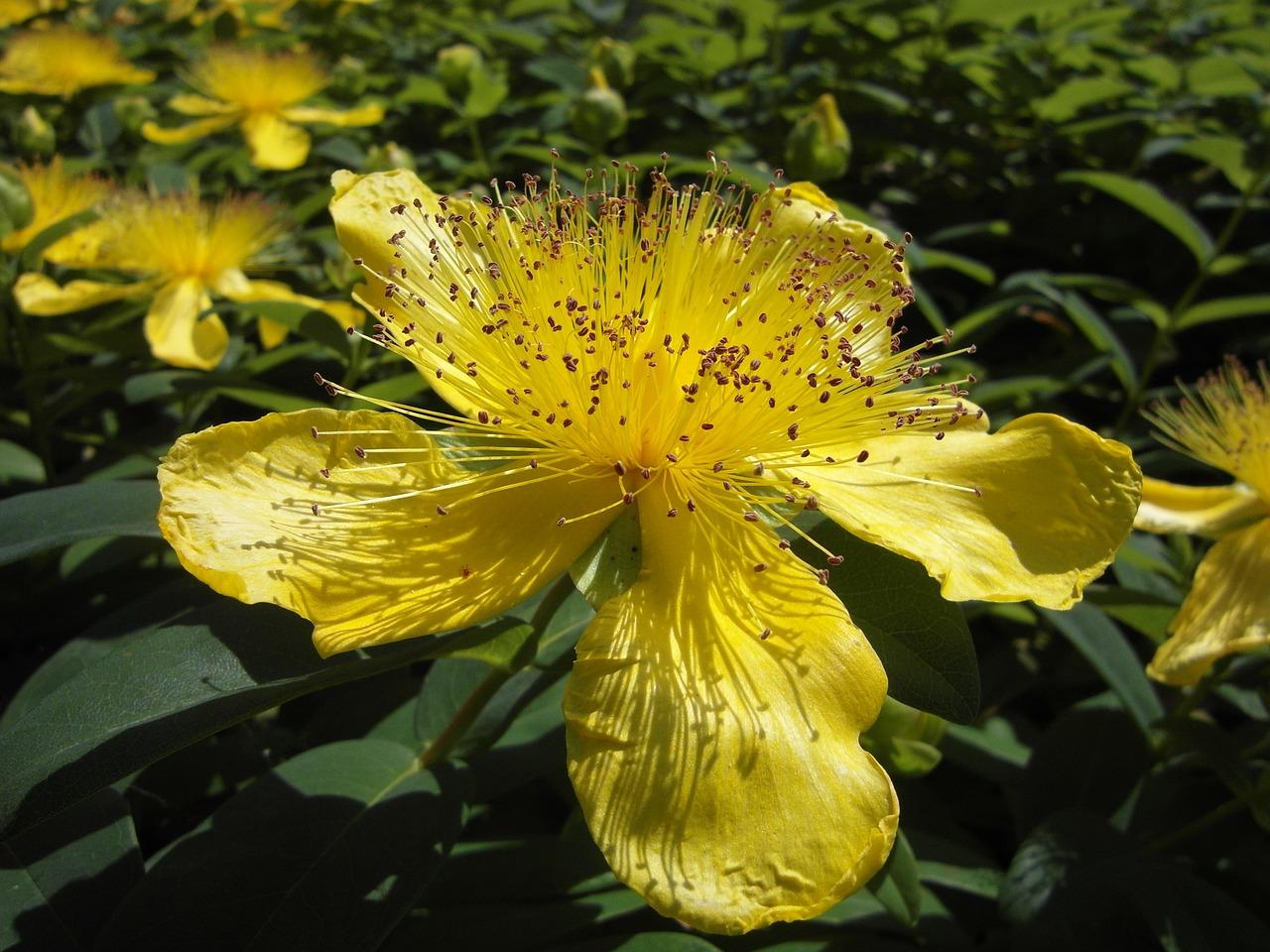 Large flower of St. John's Wort