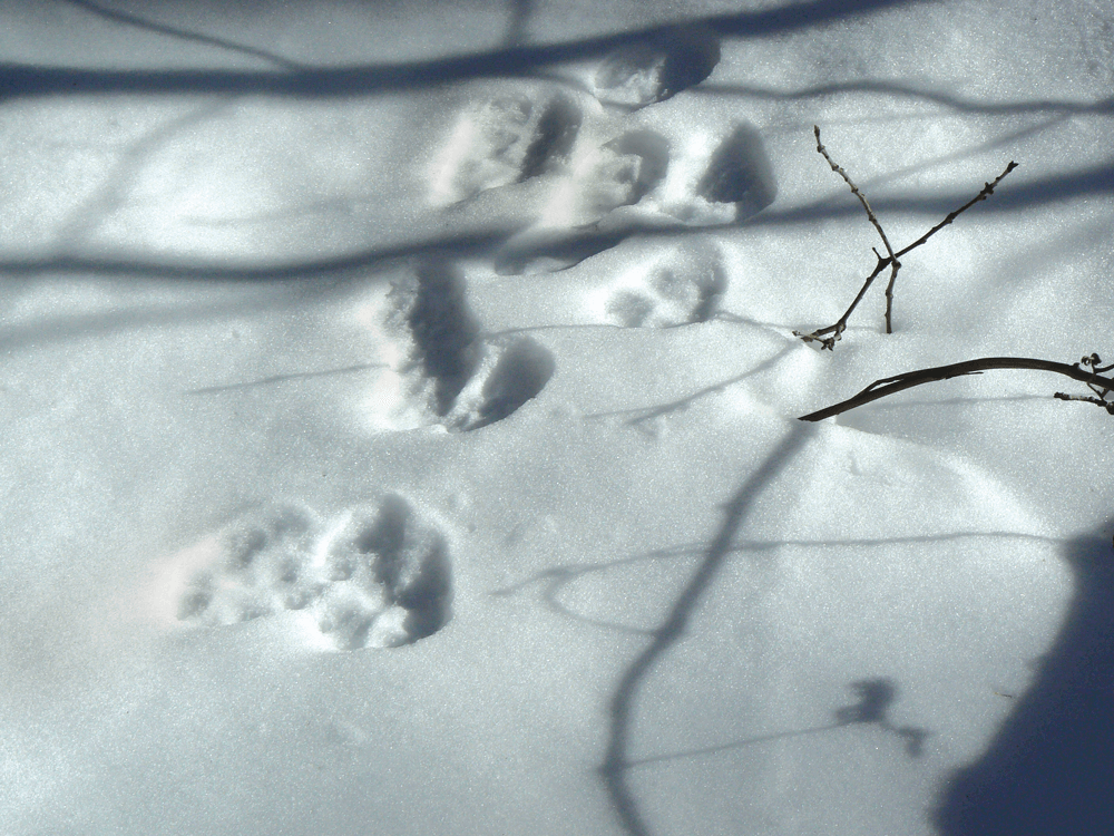 These tracks tell the story of a bobcat that's hunting hares.