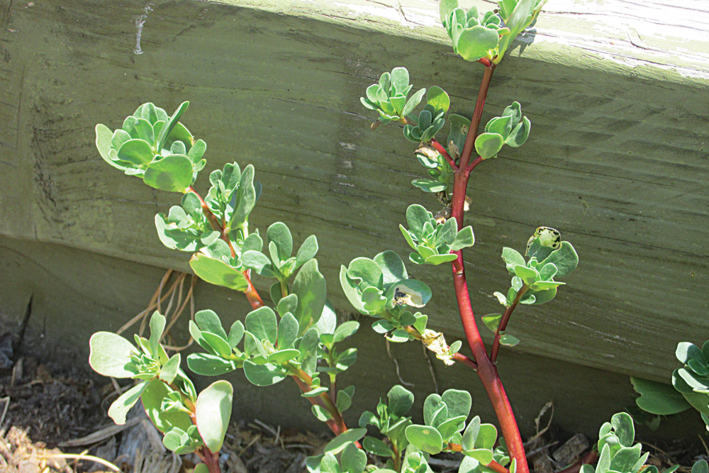 These succulent stalks of purslane are growing next to a low wood deck.