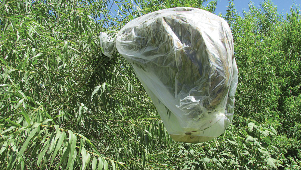 A transpiration bag is simply a clear plastic bag placed over a leafy branch; in this case, a willow branch. The plastic bag captures the transpiring moisture from the tree's leaves.