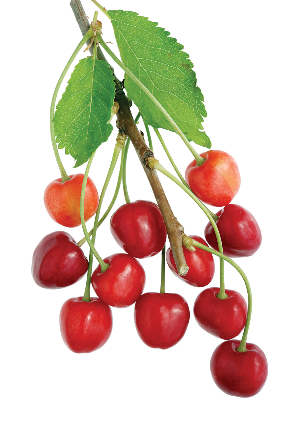 Wild cherries can be found throughout North America and in diverse environments.
