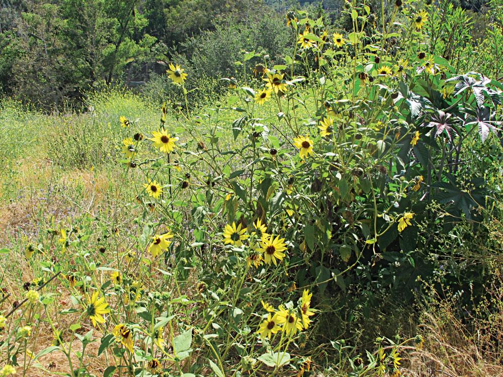 Wild sunflower plants growing in a meadow