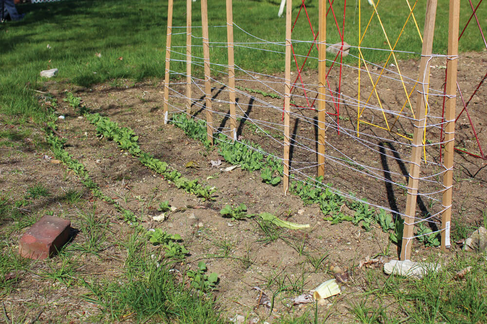 author's peas and radishes are coming up.