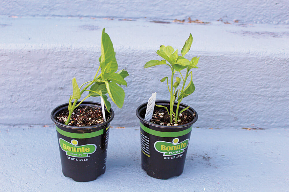 Some plants, such as these peppers, are best started early in pots and then transplanted into the garden when the weather and ground conditions are right.