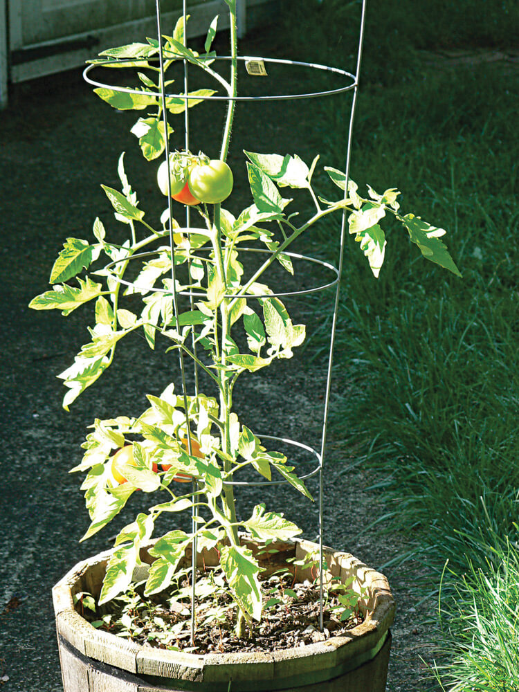 Tomatoes are common crops for new and experienced gardeners.