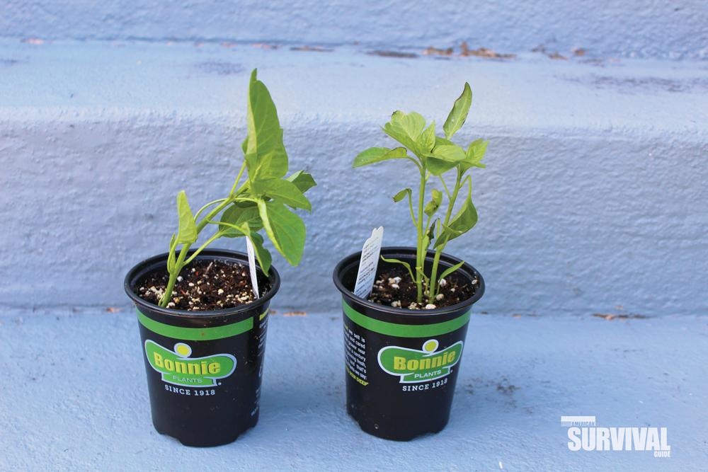 Garden-ready plants