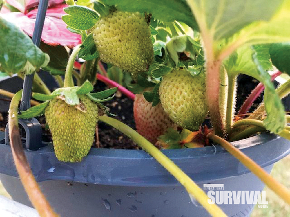 strawberries are planted in a container