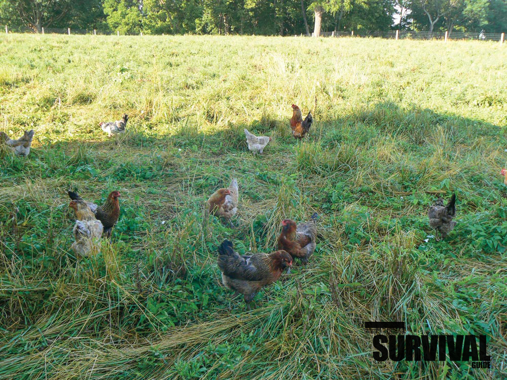 Chickens are a great source of both meat and eggs. They also fertilize the yard and eat insects