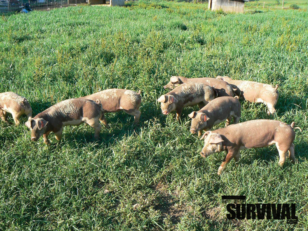 Pigs are good to have—again, only if you have the room.