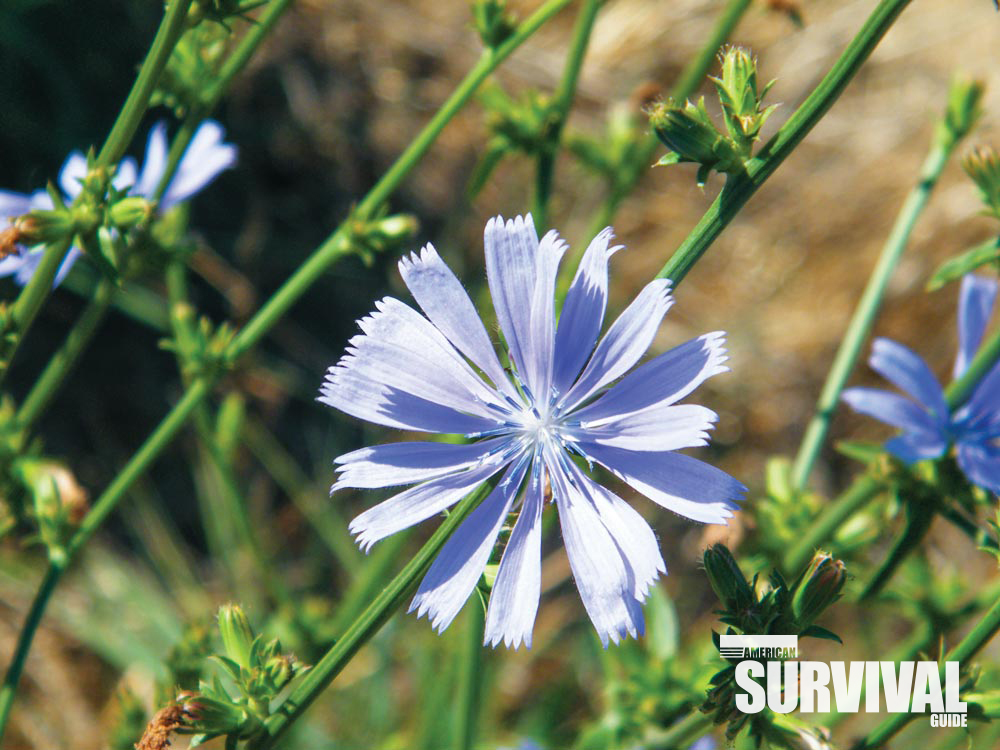 A view of a chicory flower, with a view of stems and buds in the background.