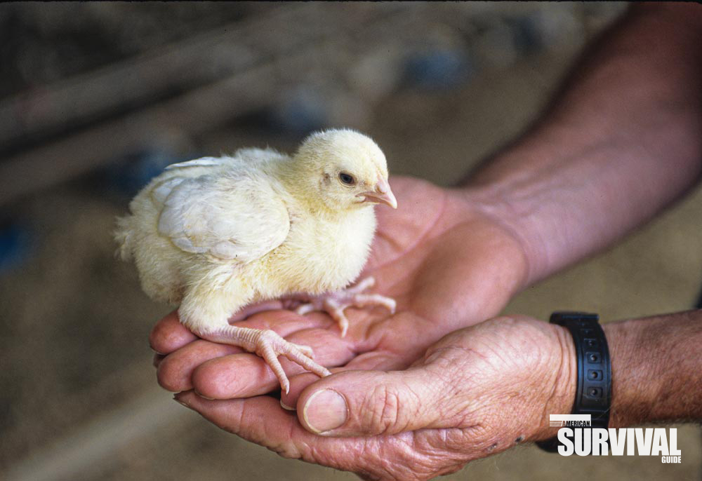 A poultry farmer holds a healthy, young chicken.