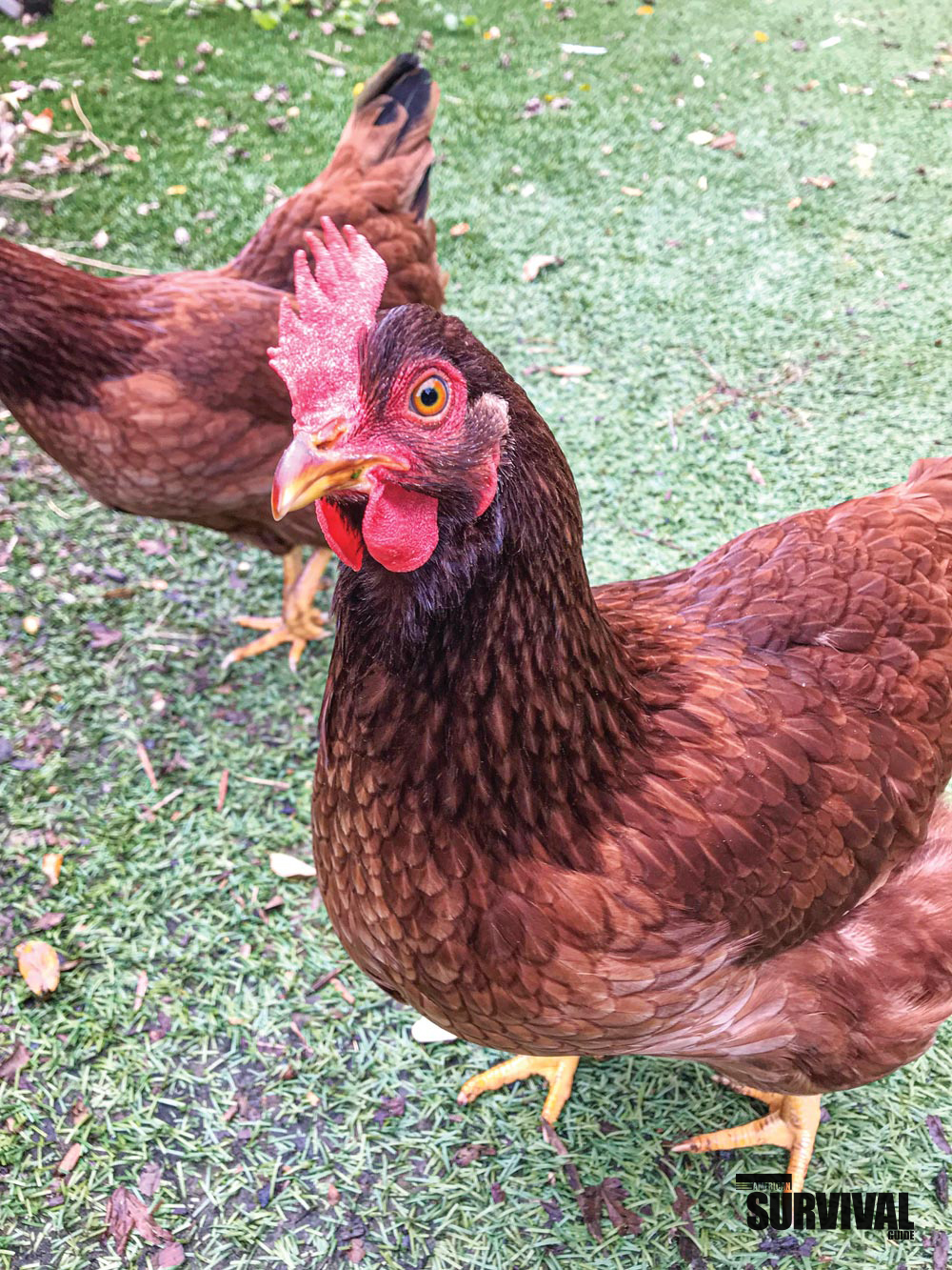 The Rhode Island Red is an excellent dualpurpose breed